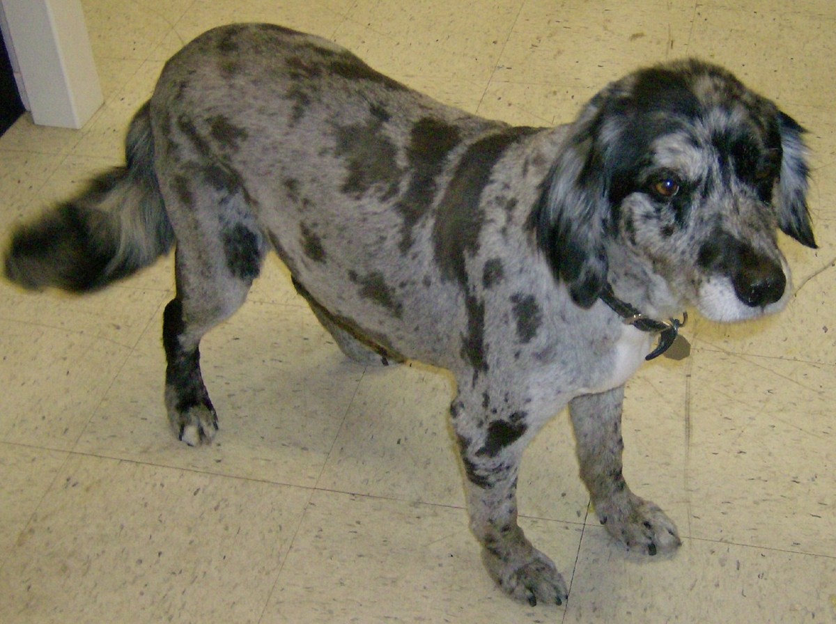 An Austrailian Shepard with a Kennel clip using a #7 blade.