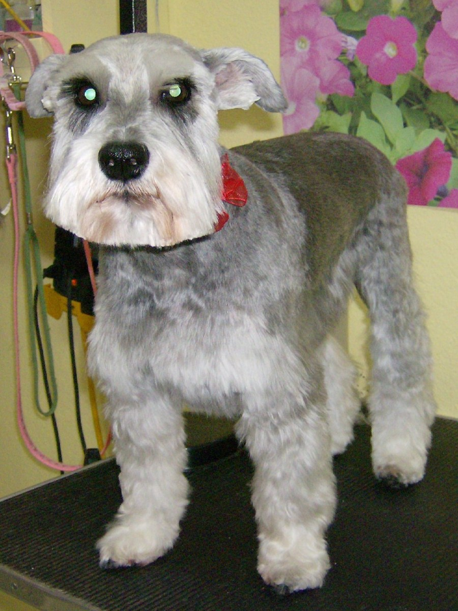 Schnauzer cut. Wish she'd put her ears up!