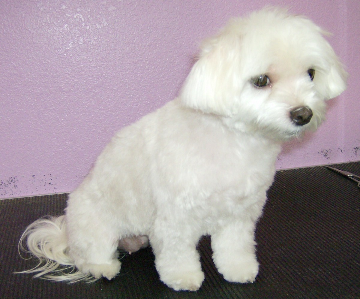 Maltese with a Puppy cut and Puppy style face using a 3-3/4 blade.