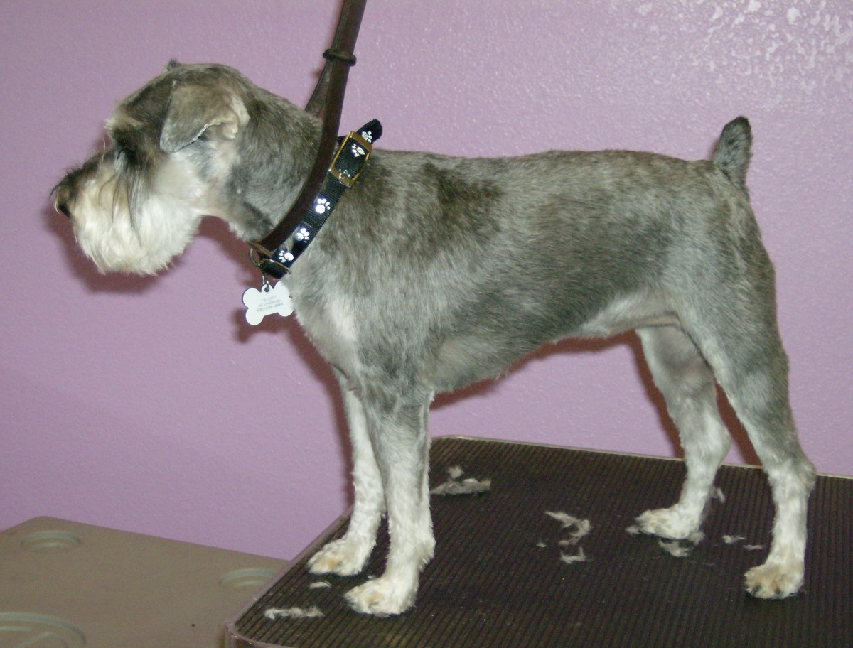 A Schnauzer with a Kennel clip using a #10 blade.