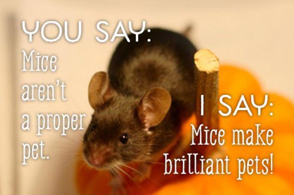 You say mice aren't a proper pet. I say mice make brilliant pets!