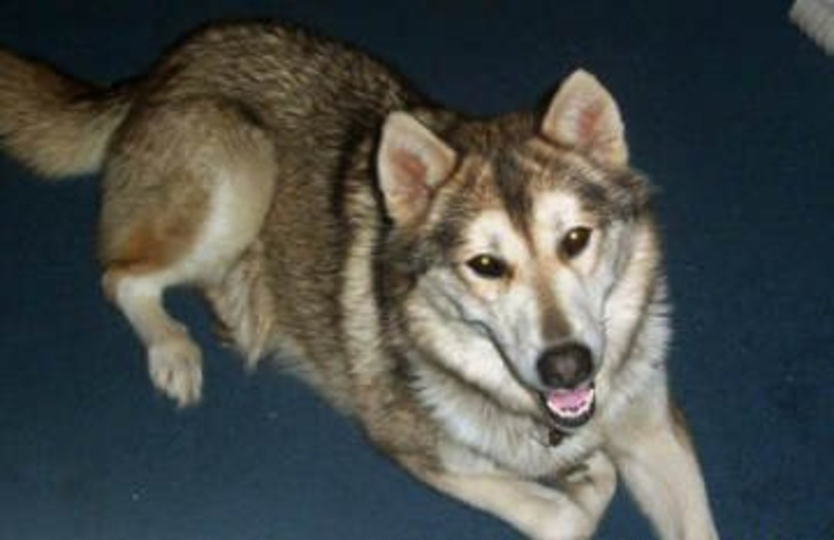 Wolf Hybrid (Wolf x Shepherd mix)