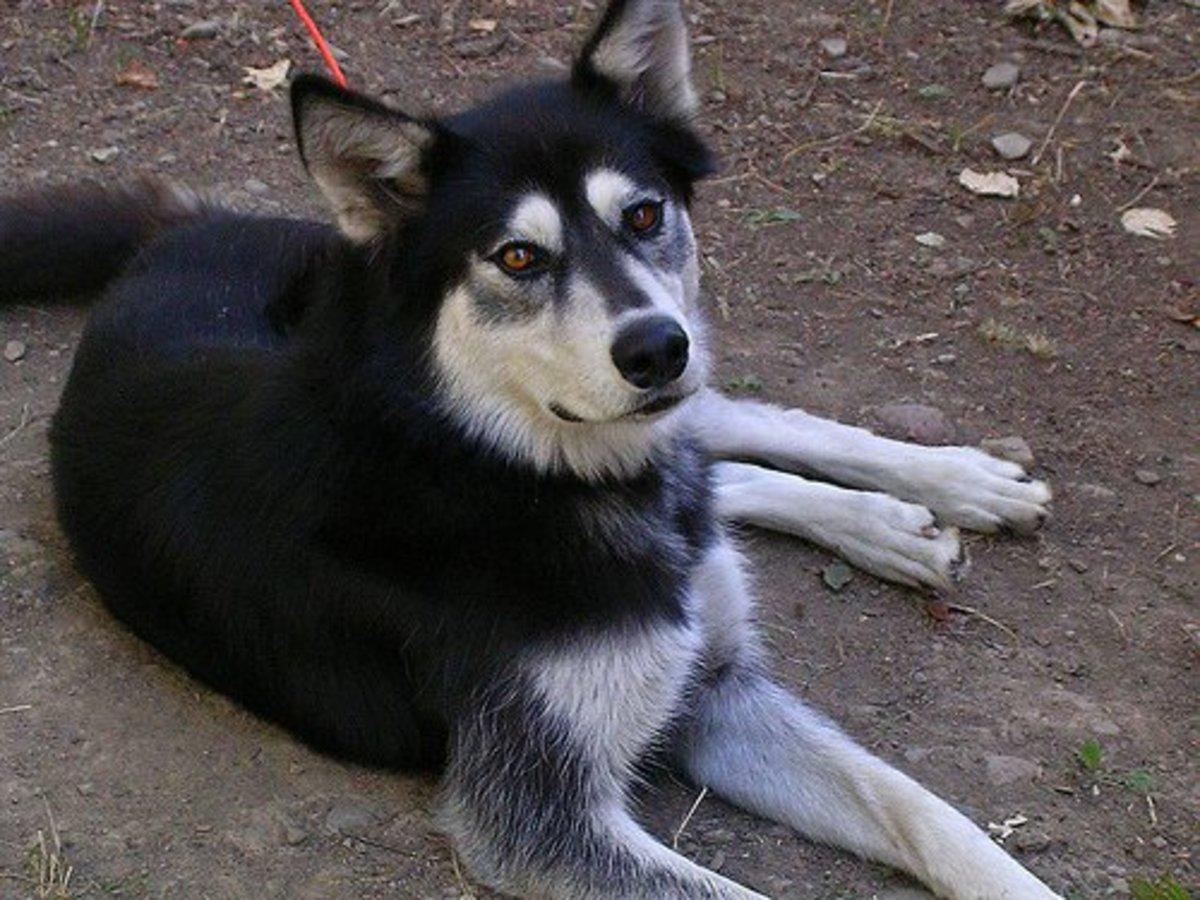 Do Wolf-Dog Hybrids Make Good Pets? | PetHelpful