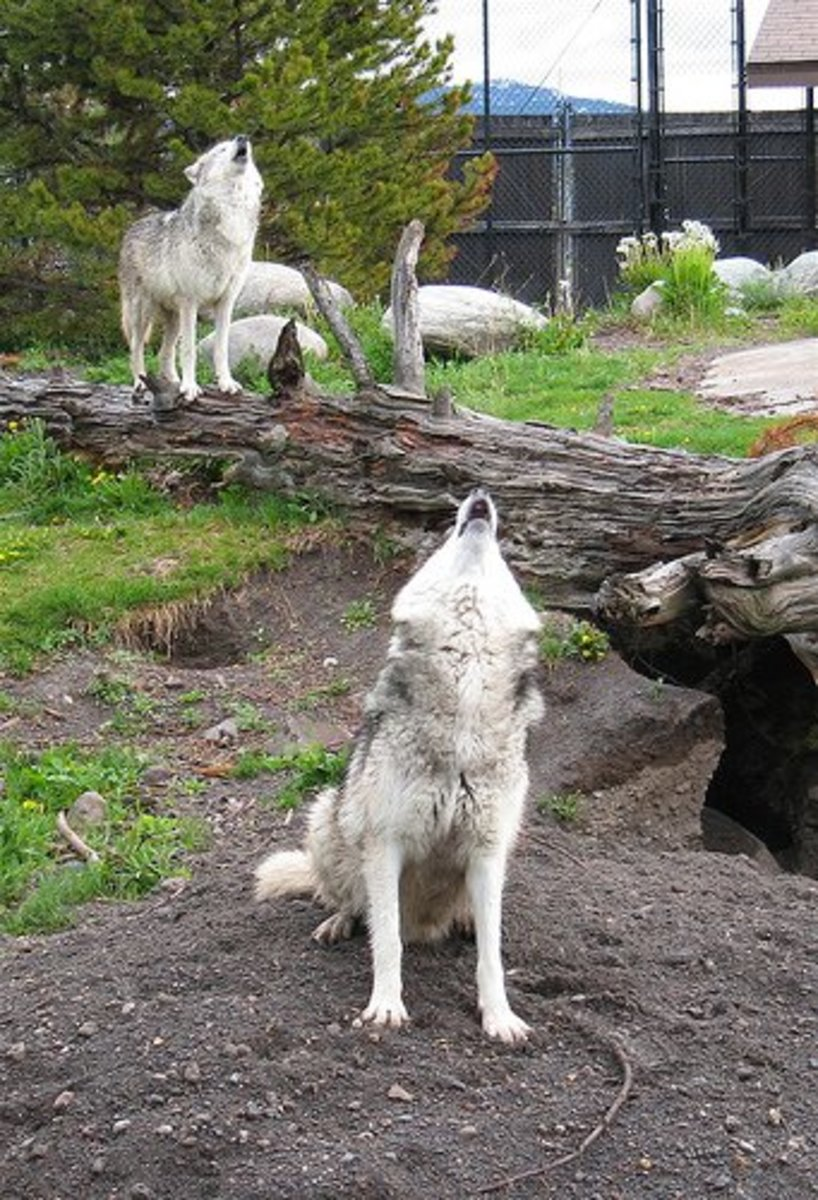 wolf-hybrid