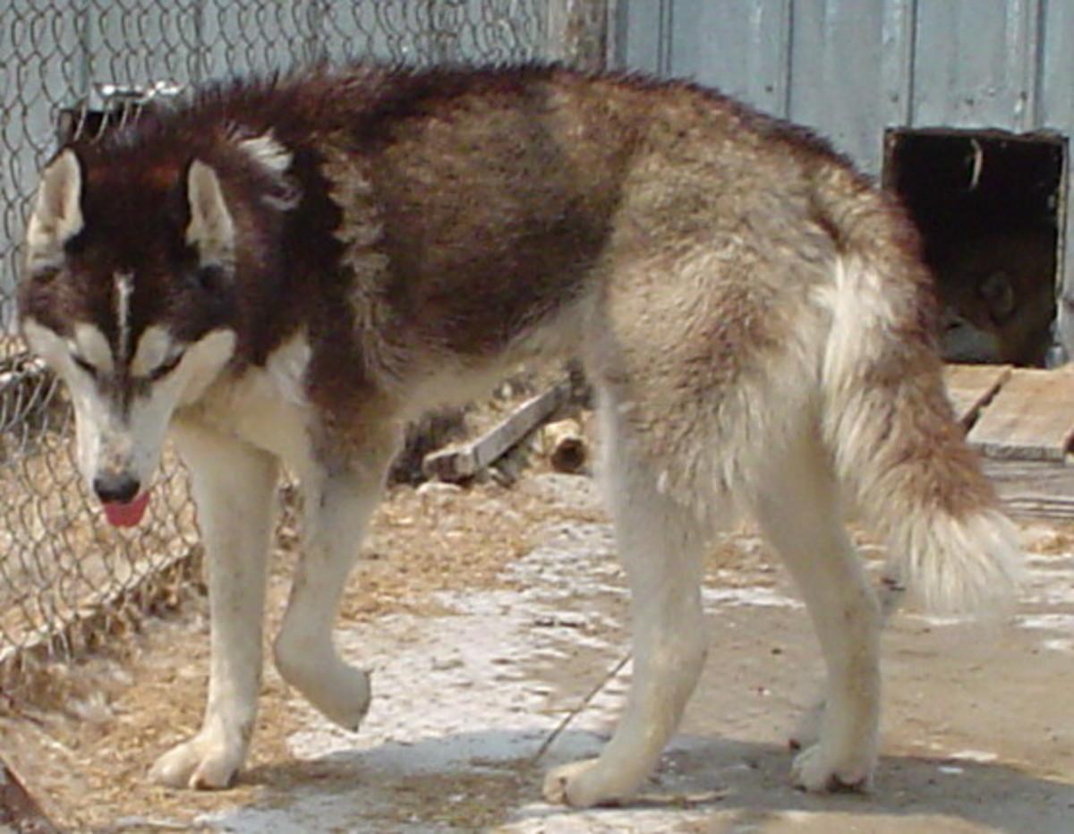 Wolf Hybrid (Wolf x Husky mix)