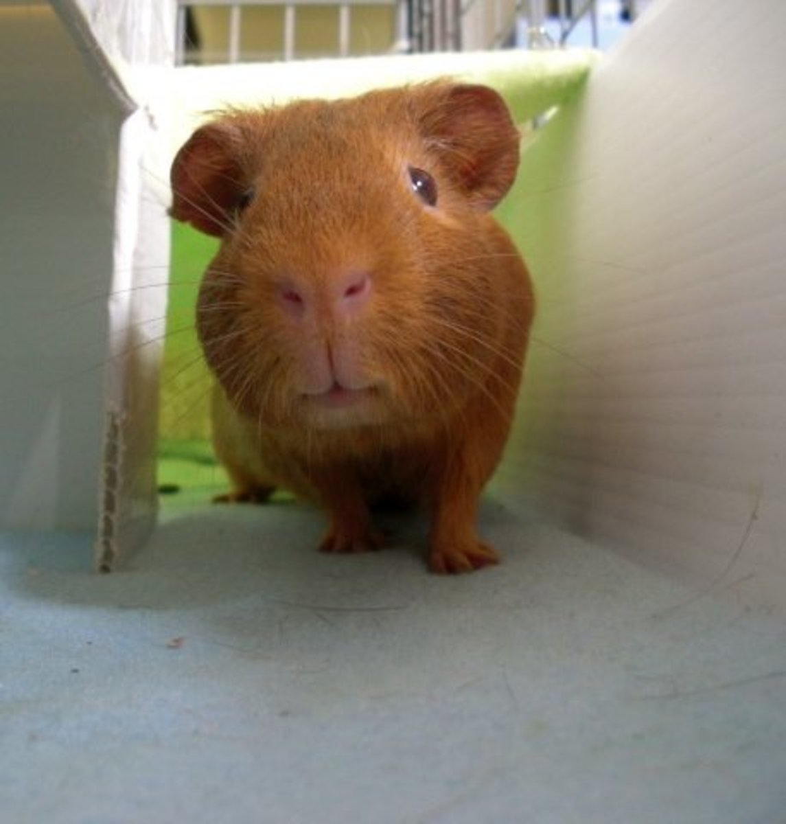Wilson is very happy to have a nice big cage to roam, as well as soft, dry fleece to lounge around on.