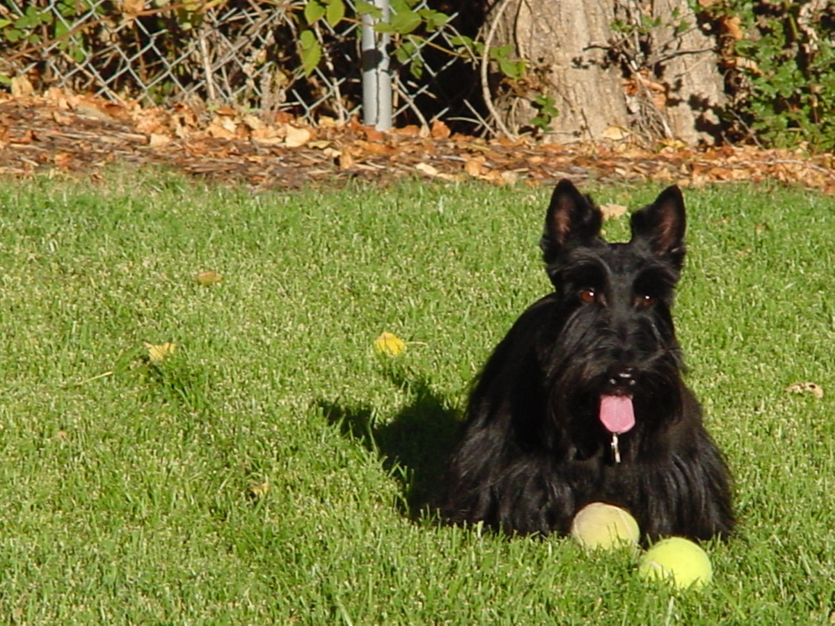 Scotties don't fetch.  Meg hordes the balls.