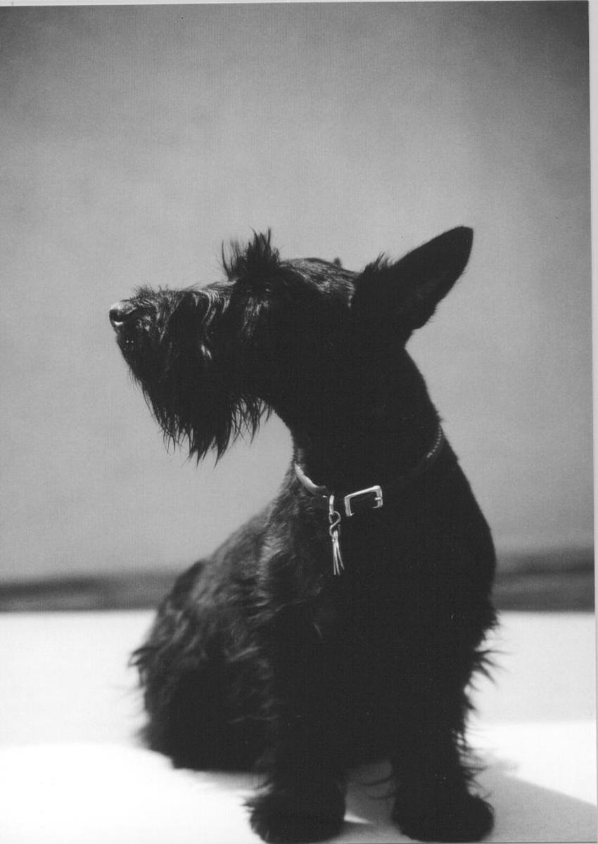 Scotties are very dignified.  My beautiful girl Banquo.