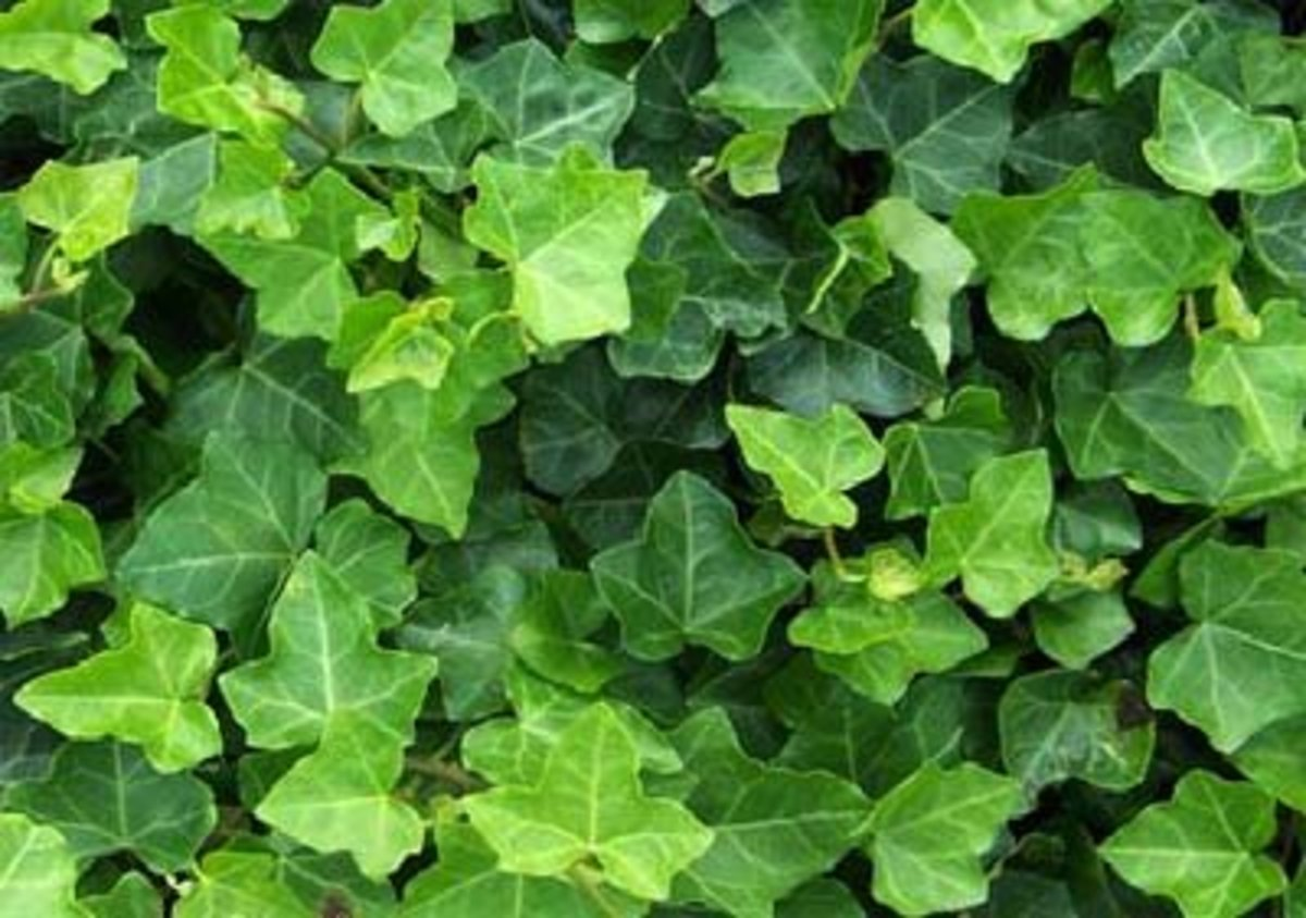 Branching Ivy