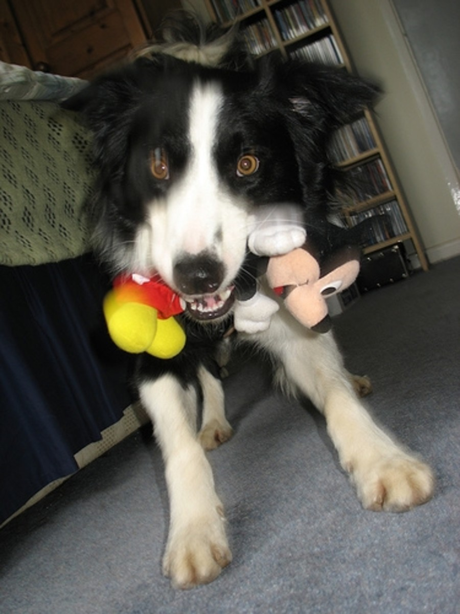 Crazed Dog With Stuffed Dog Toy
