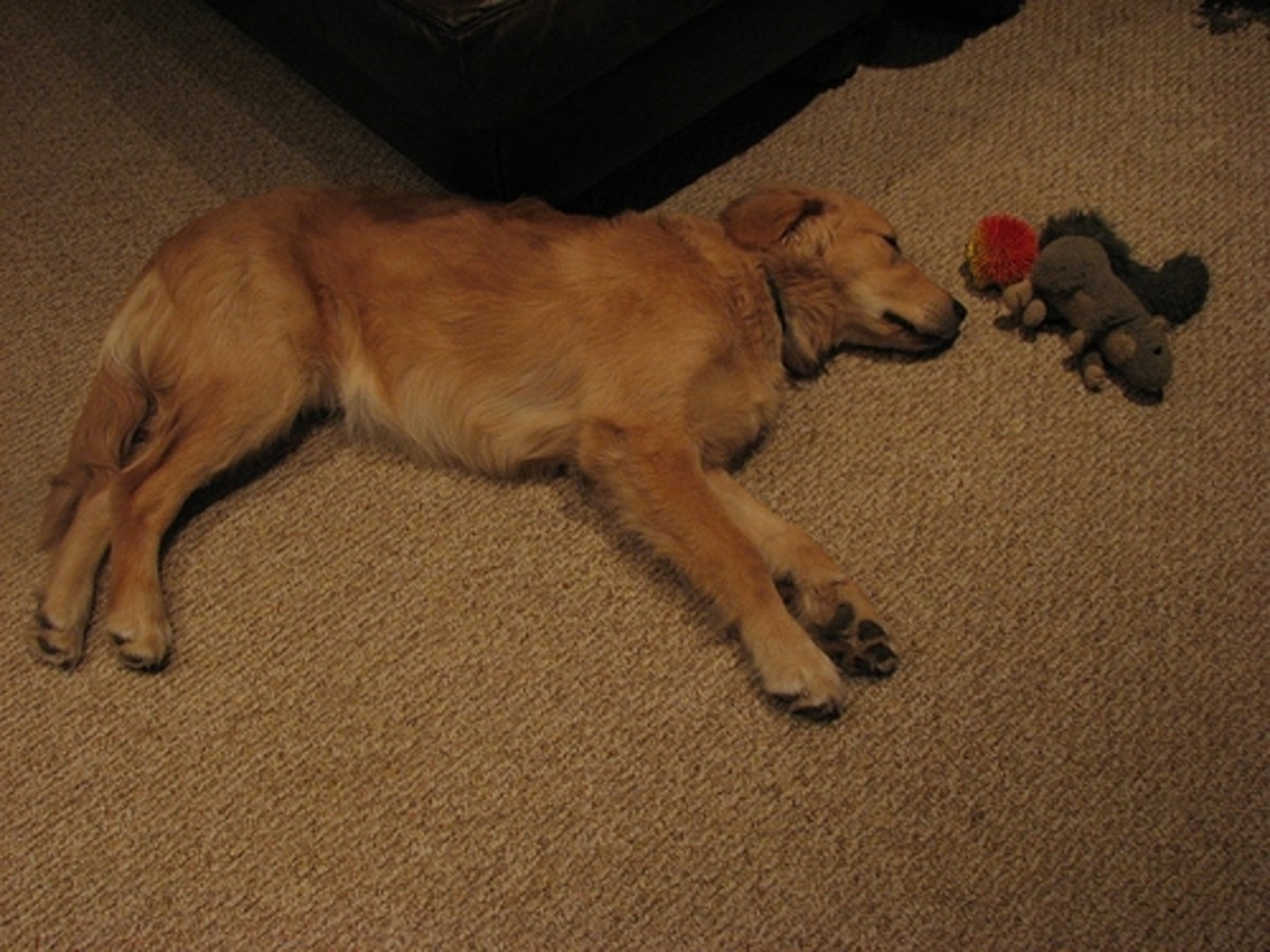 A Tired Puppy After Playing With His Toys