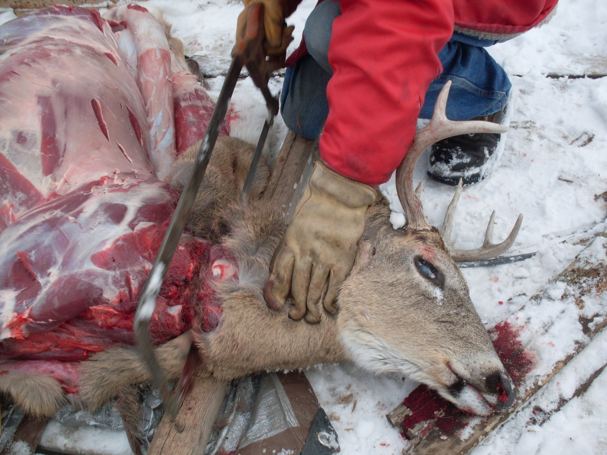 After removing the hide around the front shoulders, cut the head off with a saw (a meat saw or chain saw is preferred).