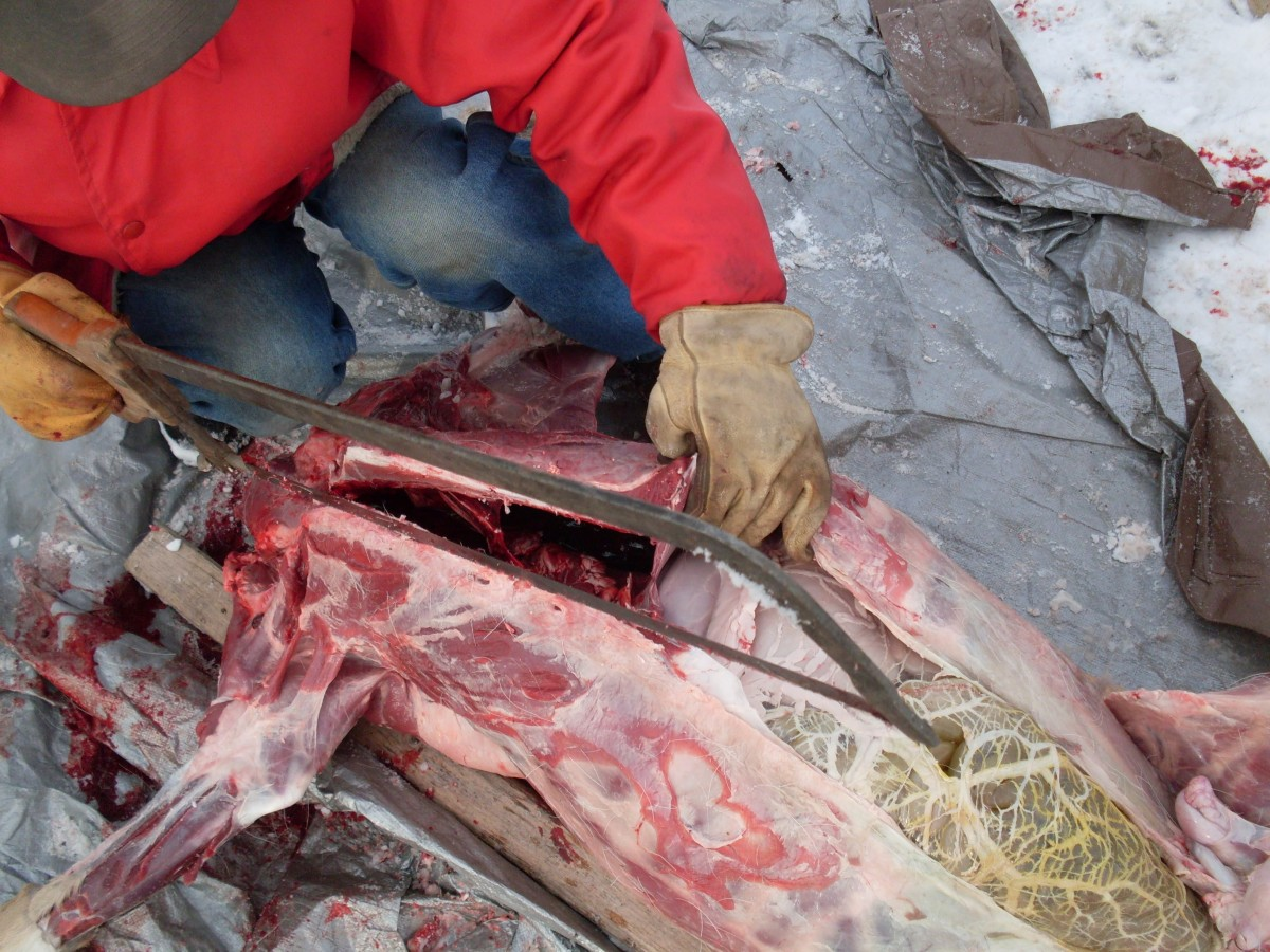 Continue cutting until the chest cavity opens up.