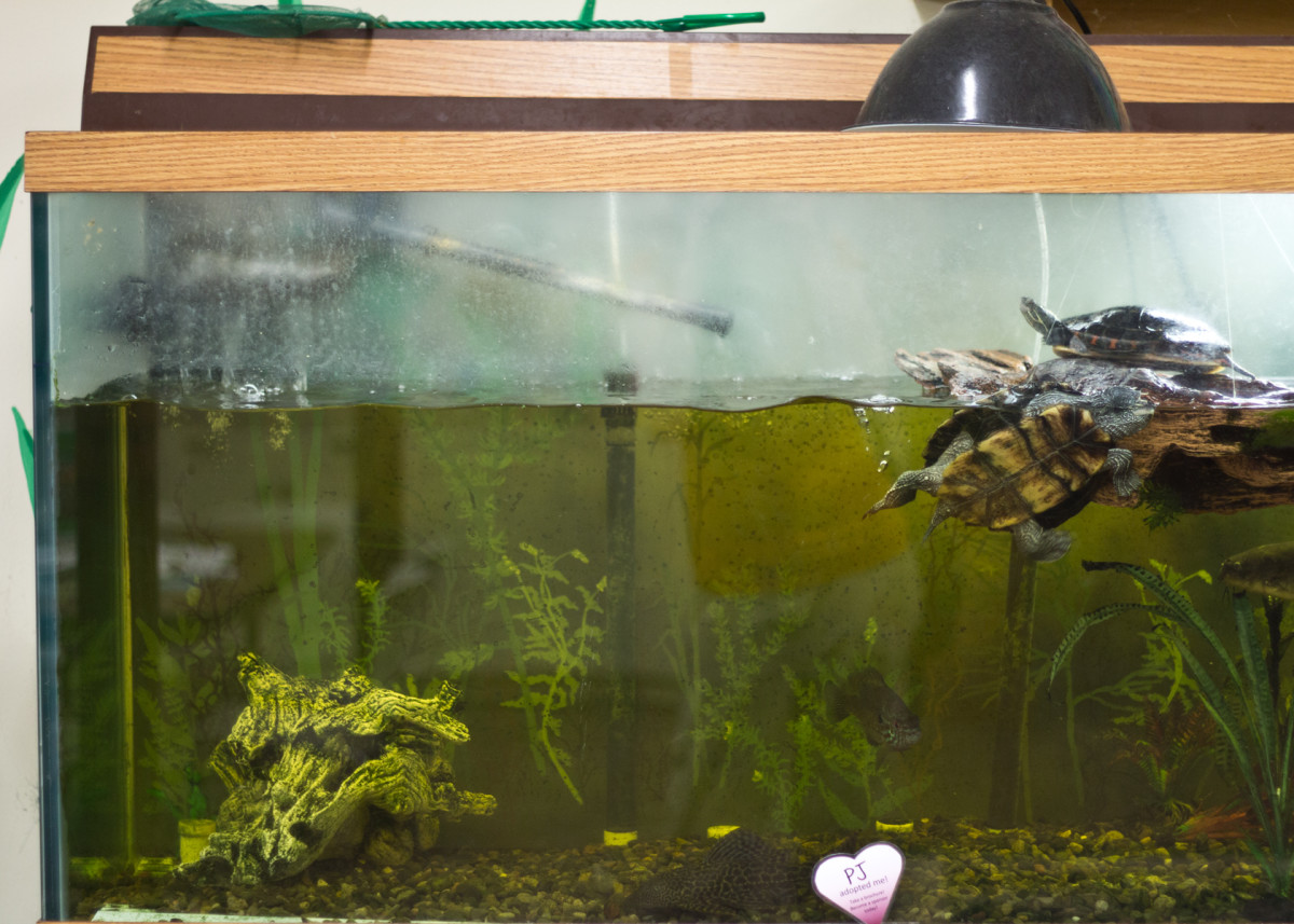 You can expect to spend about half an hour each day caring for your turtle.