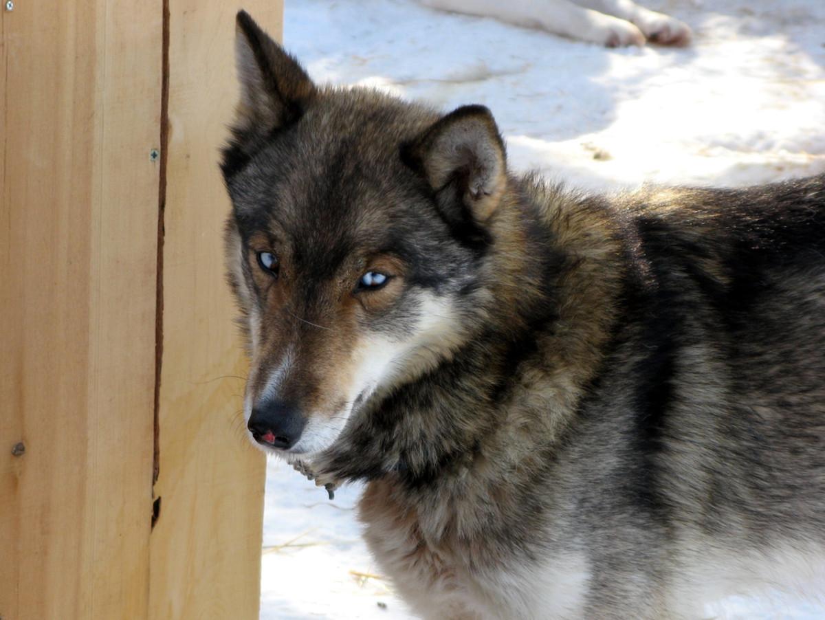 A wolf-grey Siberian