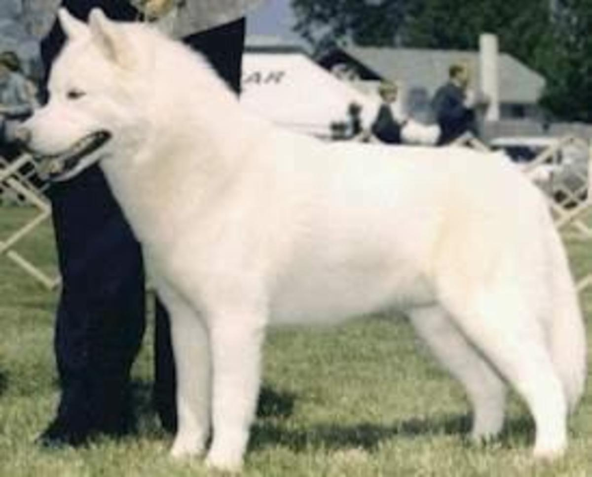 A pure white Siberian with black points.