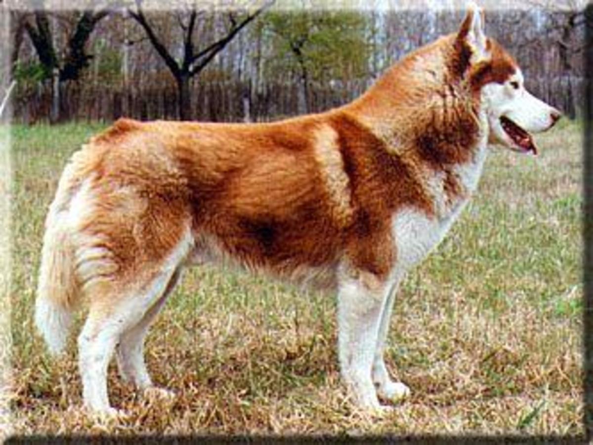 A red copper Siberian.