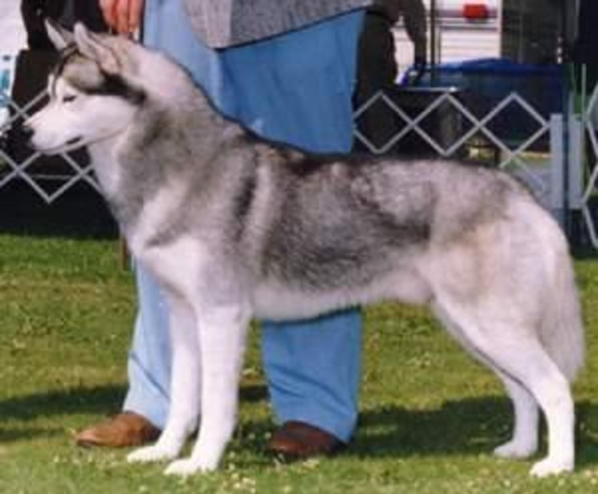 Siberian showing a medium/dark grey coat.