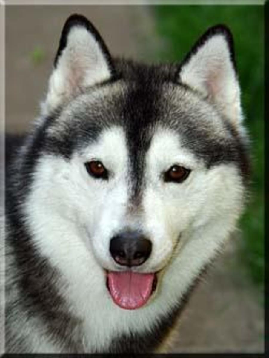 Colors of Siberian Huskies | PetHelpful