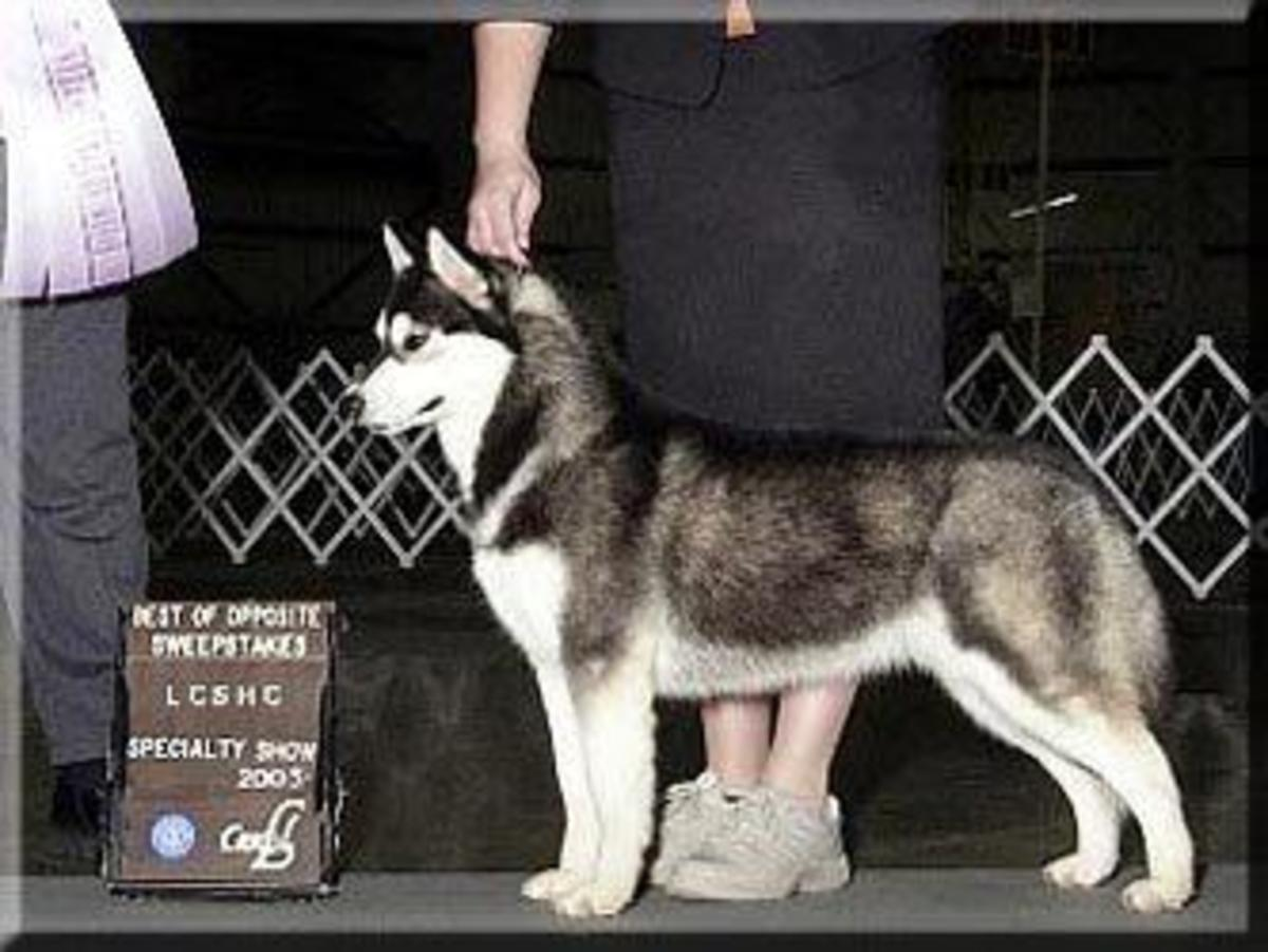 A Siberian with a diluted black coat.