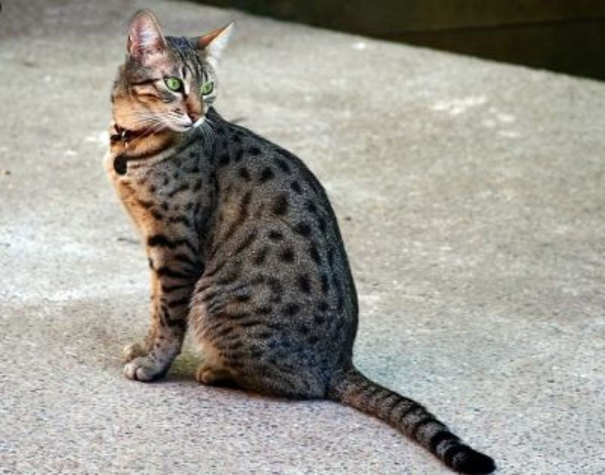 What makes a tabby? This Egyptian Mau has a slender body with tabby spots, striped legs and tail, and the Tabby M on its forehead.