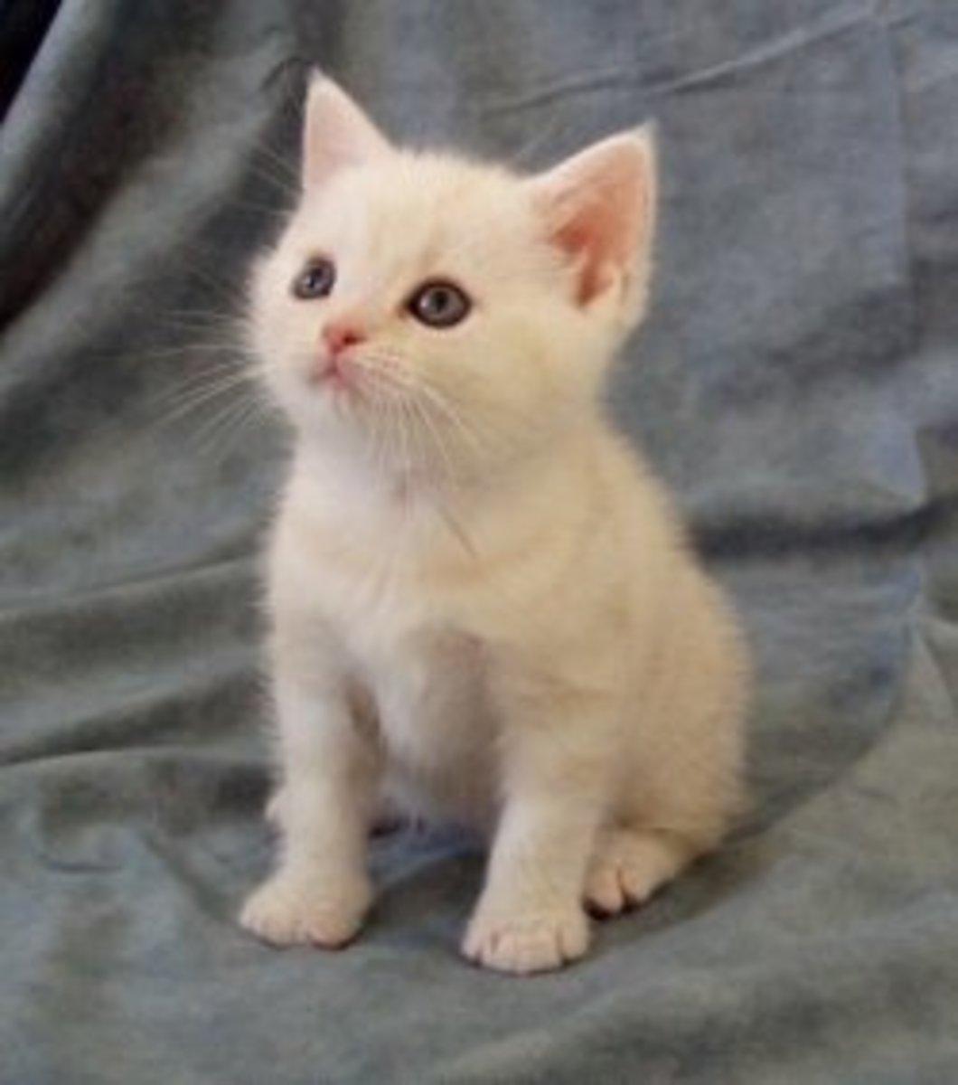 Cream Tabby Kitten