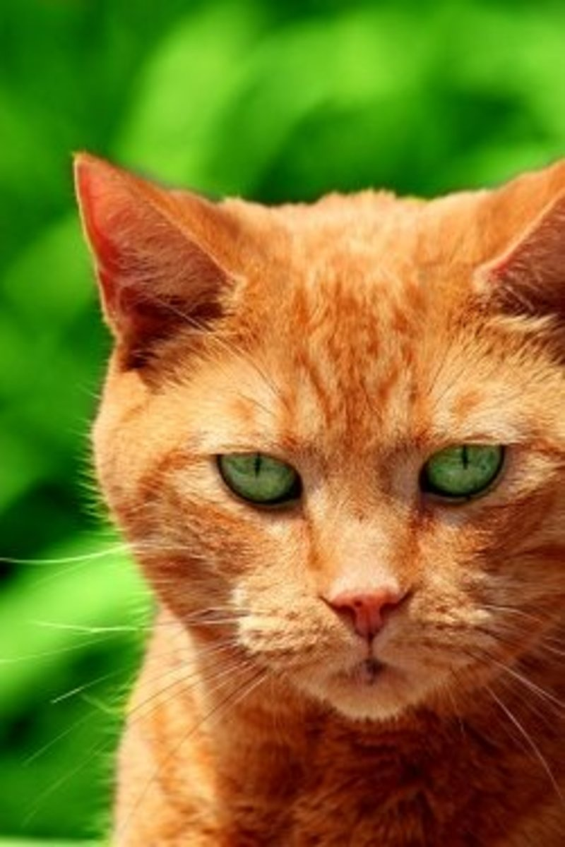 Red or Orange Tabby with Green Eyes