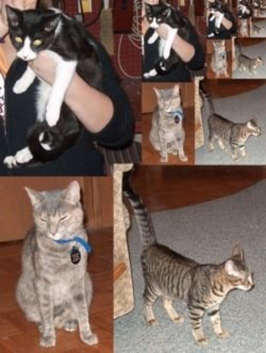 Fractal cats, blue mackerel tabby, brown mackerel tabby, tuxedo cat
