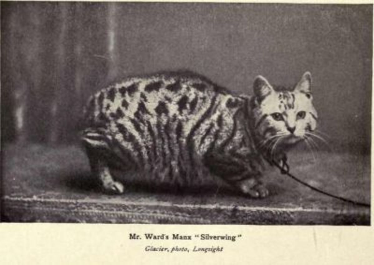 No tail? No problem. This Manx cat has broken stripes, and that makes it a tabby.