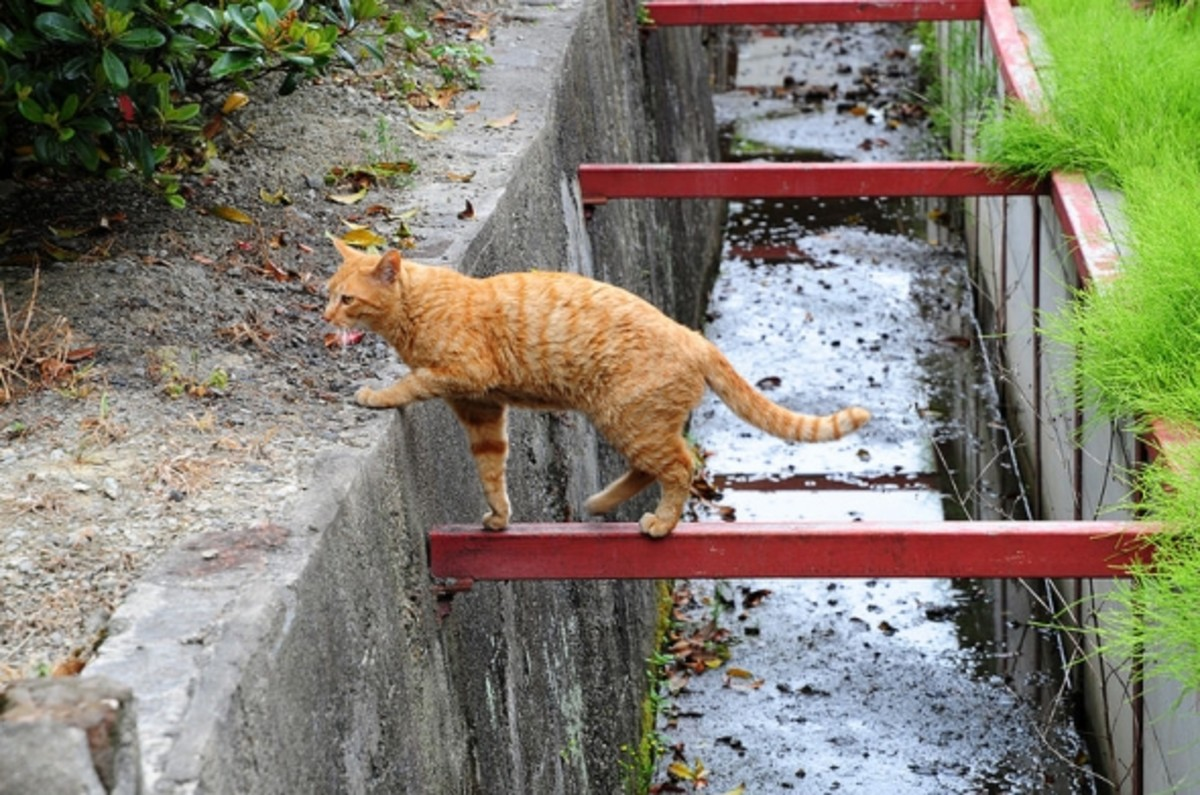 Red Tabby Cat Crossing a Ditch