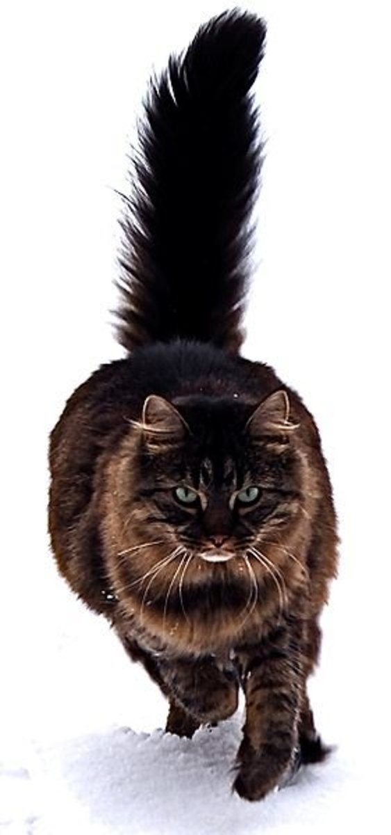 This Maine Coon Cat has thick, winter-proof fur and beautiful brown tabby stripes
