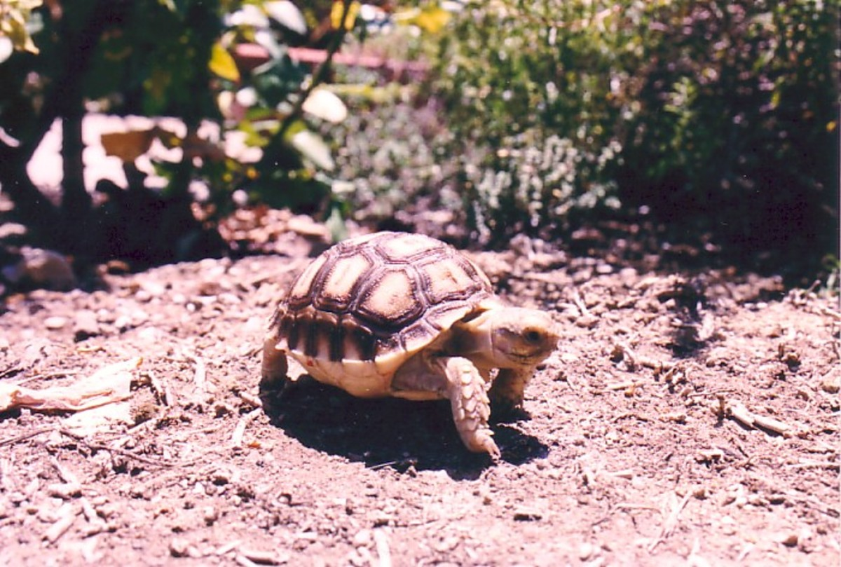 Great Hatchling Sulcata Tortoise / / CC BY 2.0