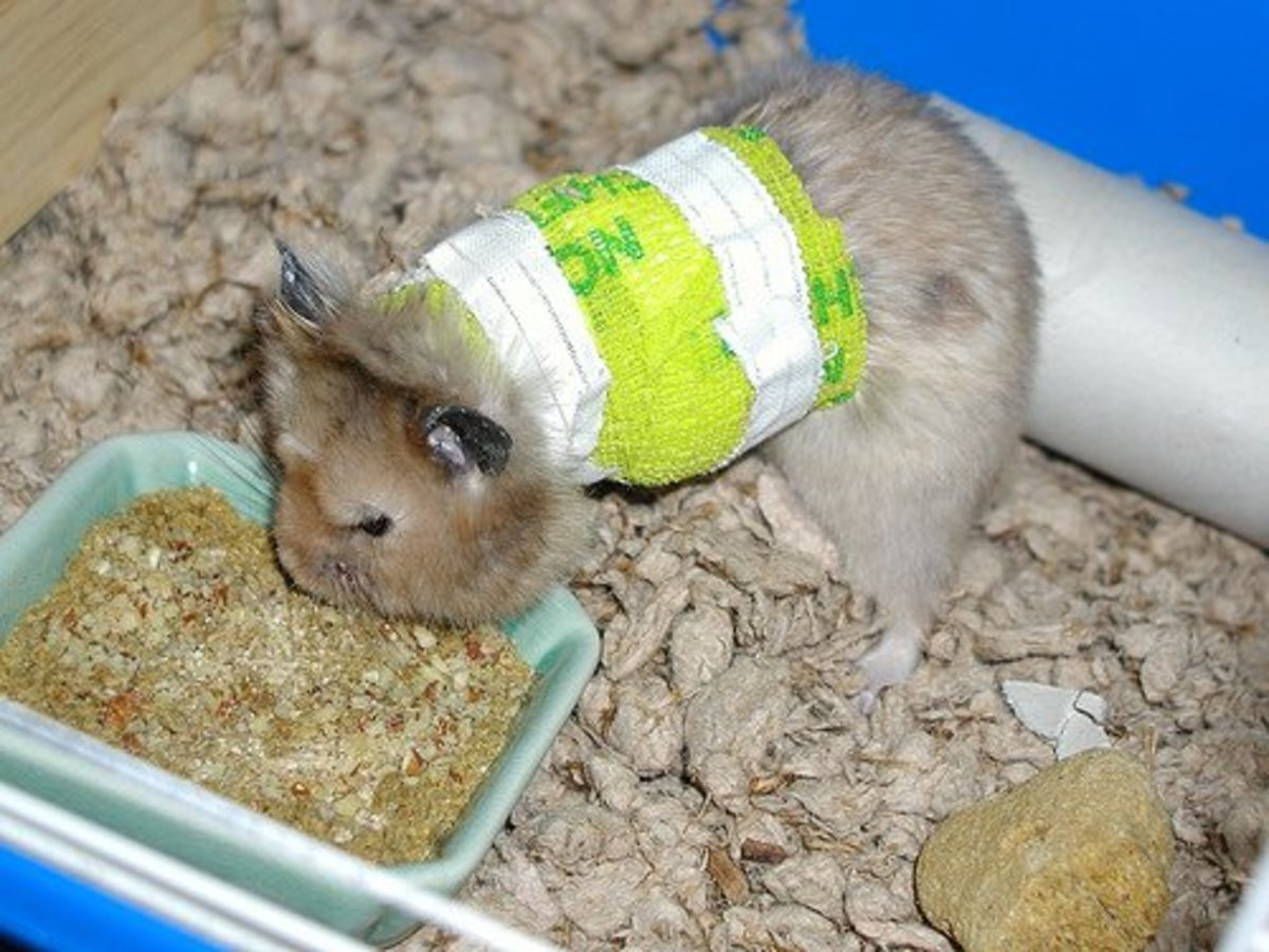 Signs and Treatment of Broken Legs in Hamsters