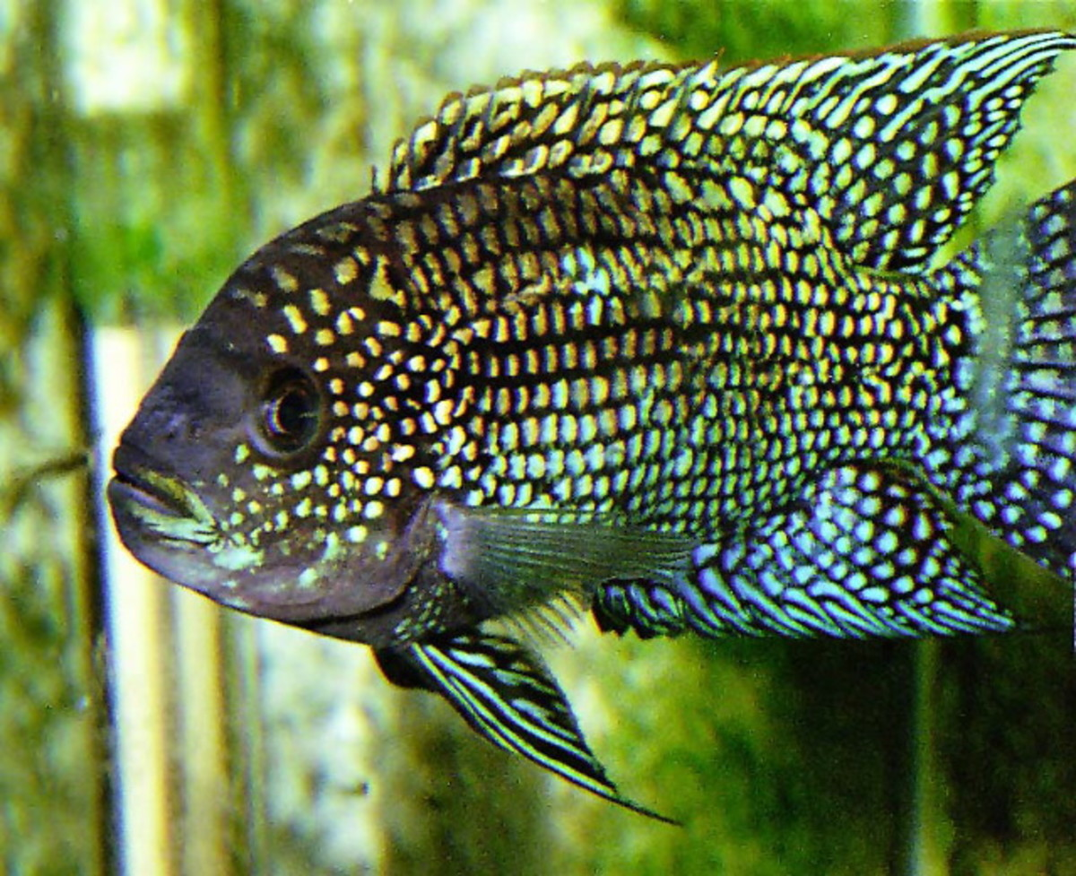 Jack Dempsey fish from http://www.willegal.net/tropical_fish/jack.jpg