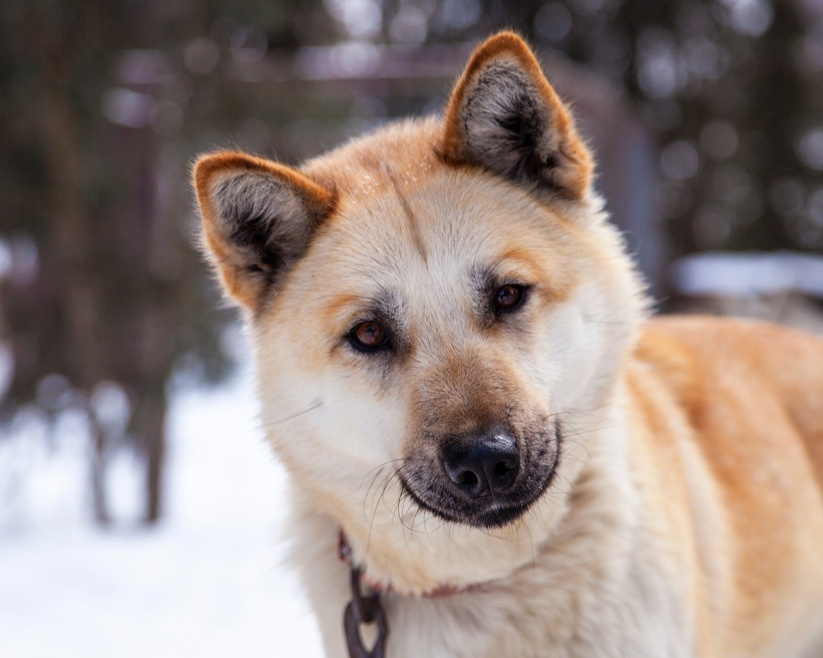 Akitas are intelligent, dominant, and loyal.
