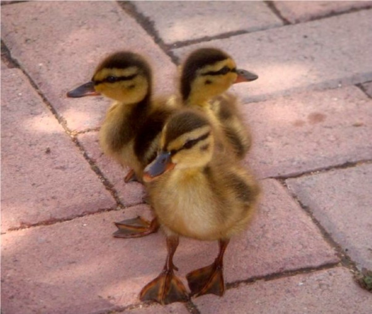 How to Raise Baby Ducklings | PetHelpful