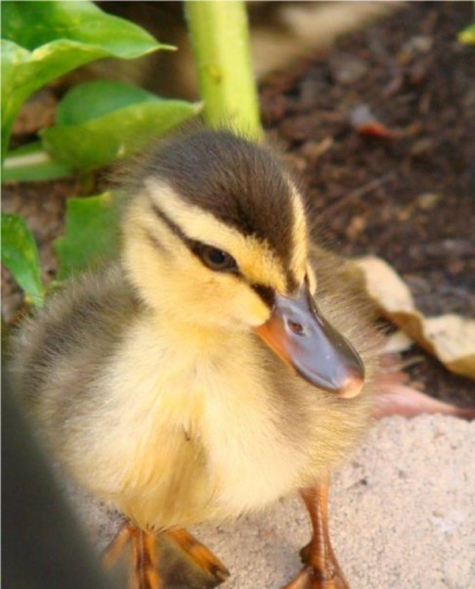 How To Raise Baby Ducklings Pethelpful