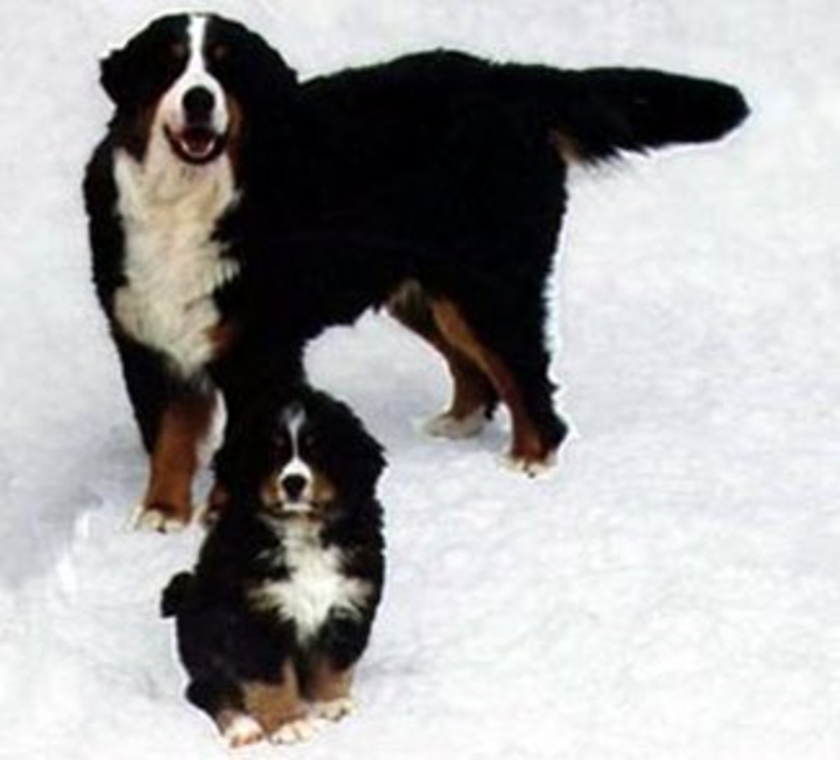 A Bernese Mountain Dog and a puppy.