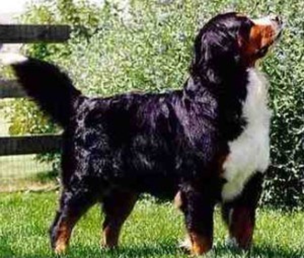 A Bernese Mountain Dog.