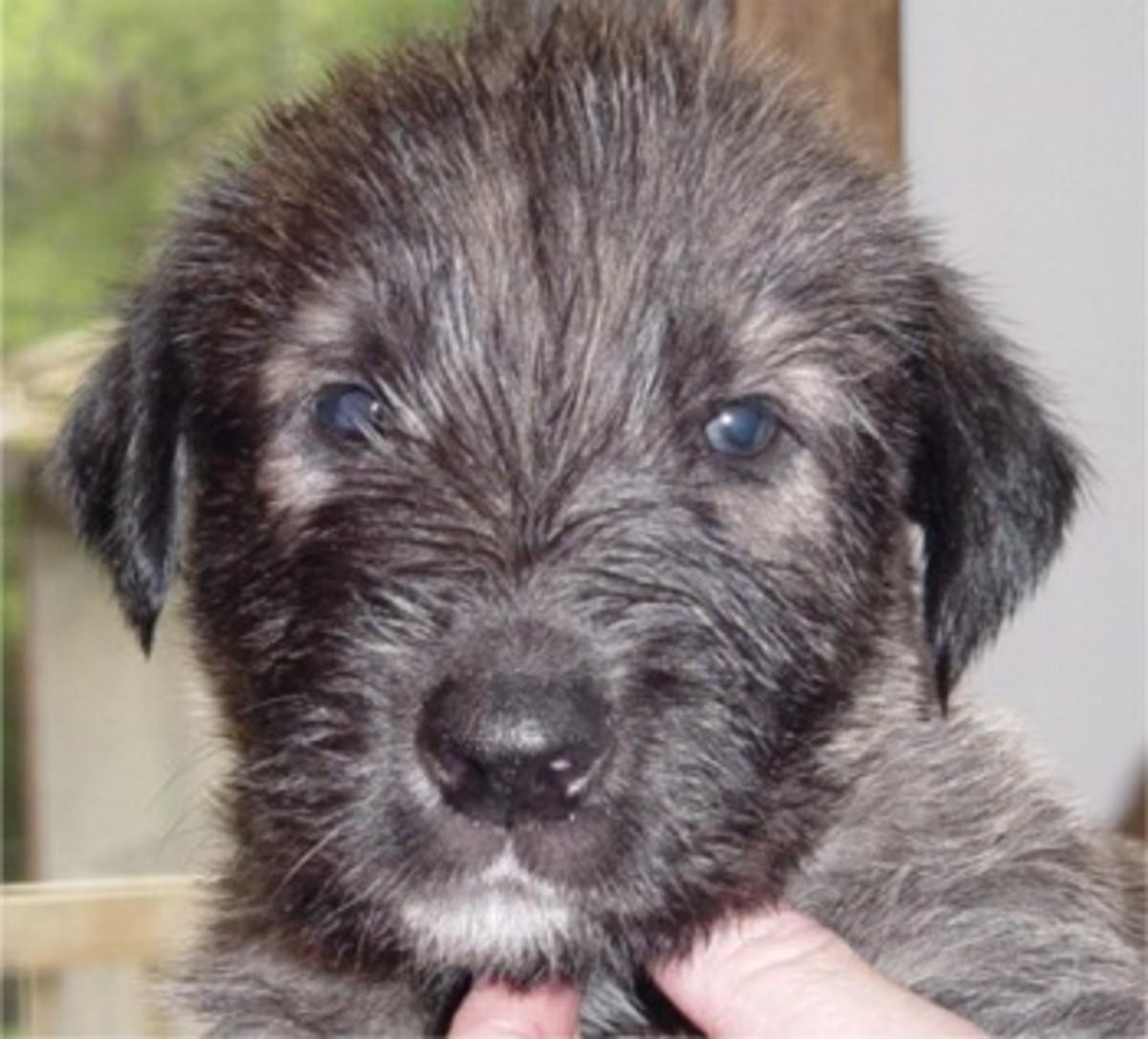 An Irish Wolfhound puppy.