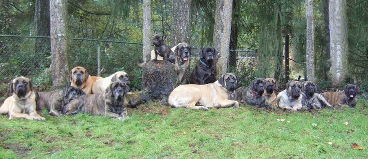 Different colored mastiffs.