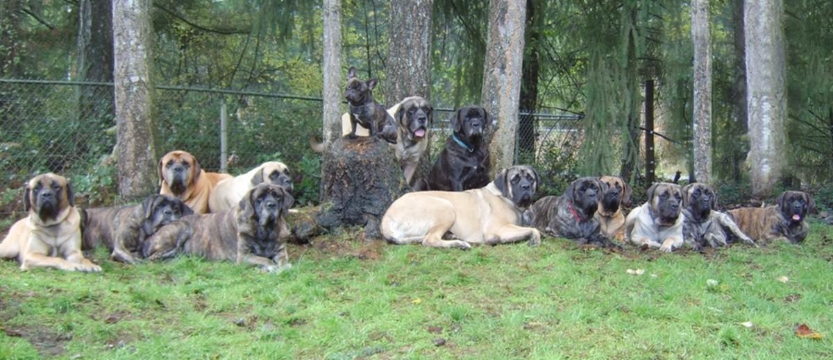 Different colored mastiffs.
