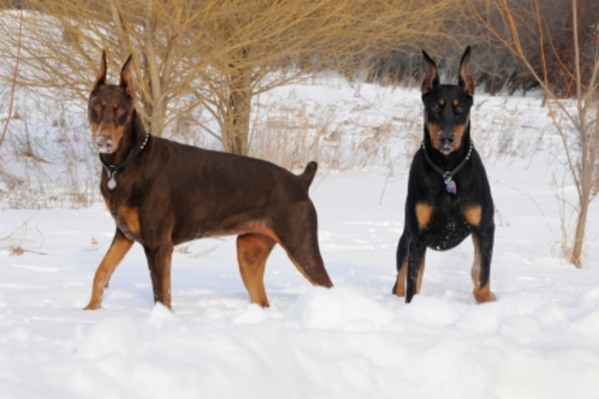 Brown and Black Doberman Pinschers.