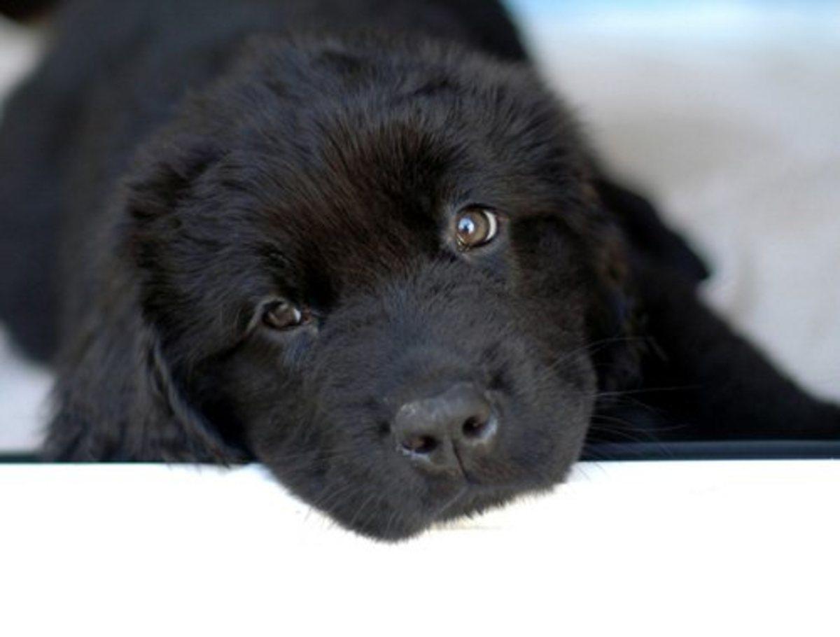 A Newfoundland puppy.