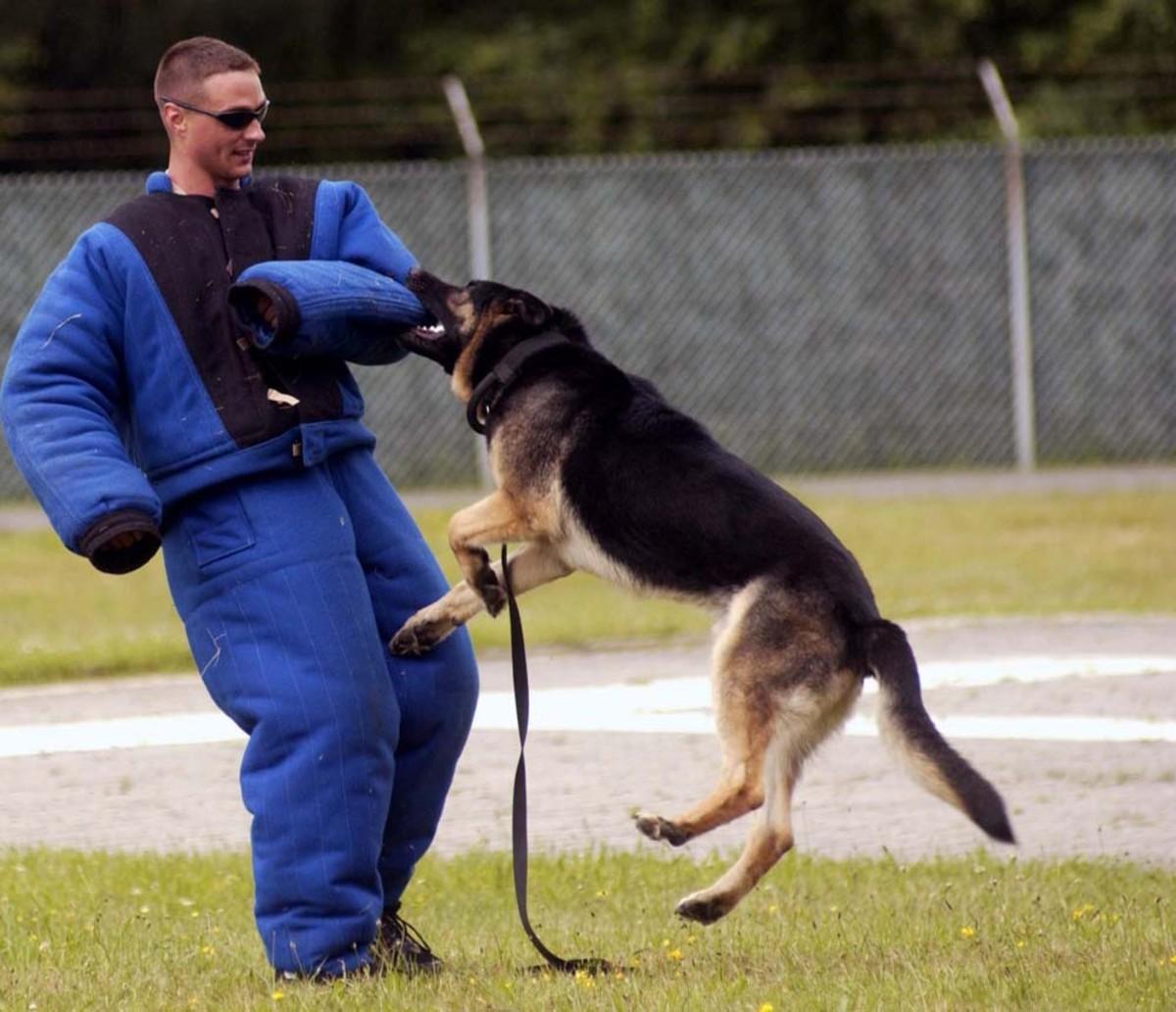 A German Shepherd at work.