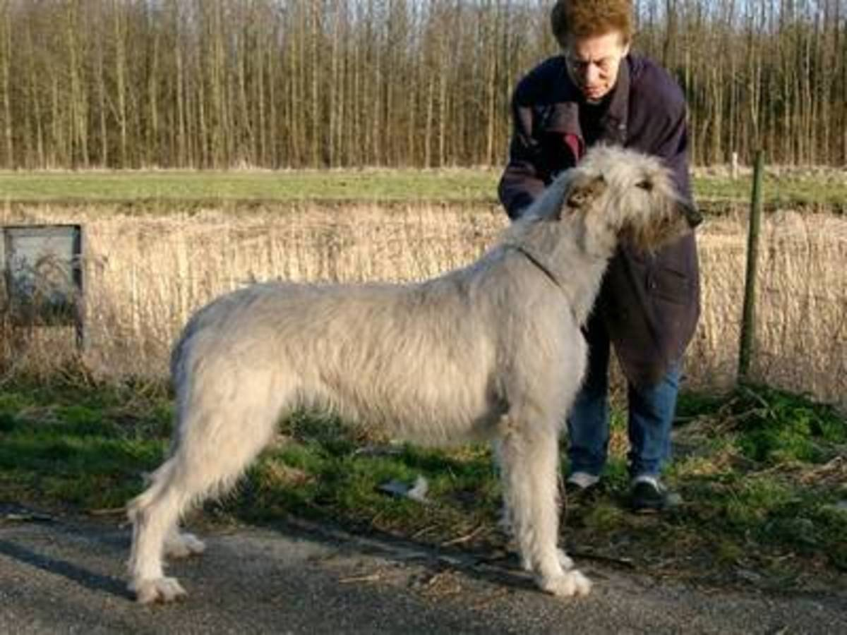 A Scottish Deerhound.