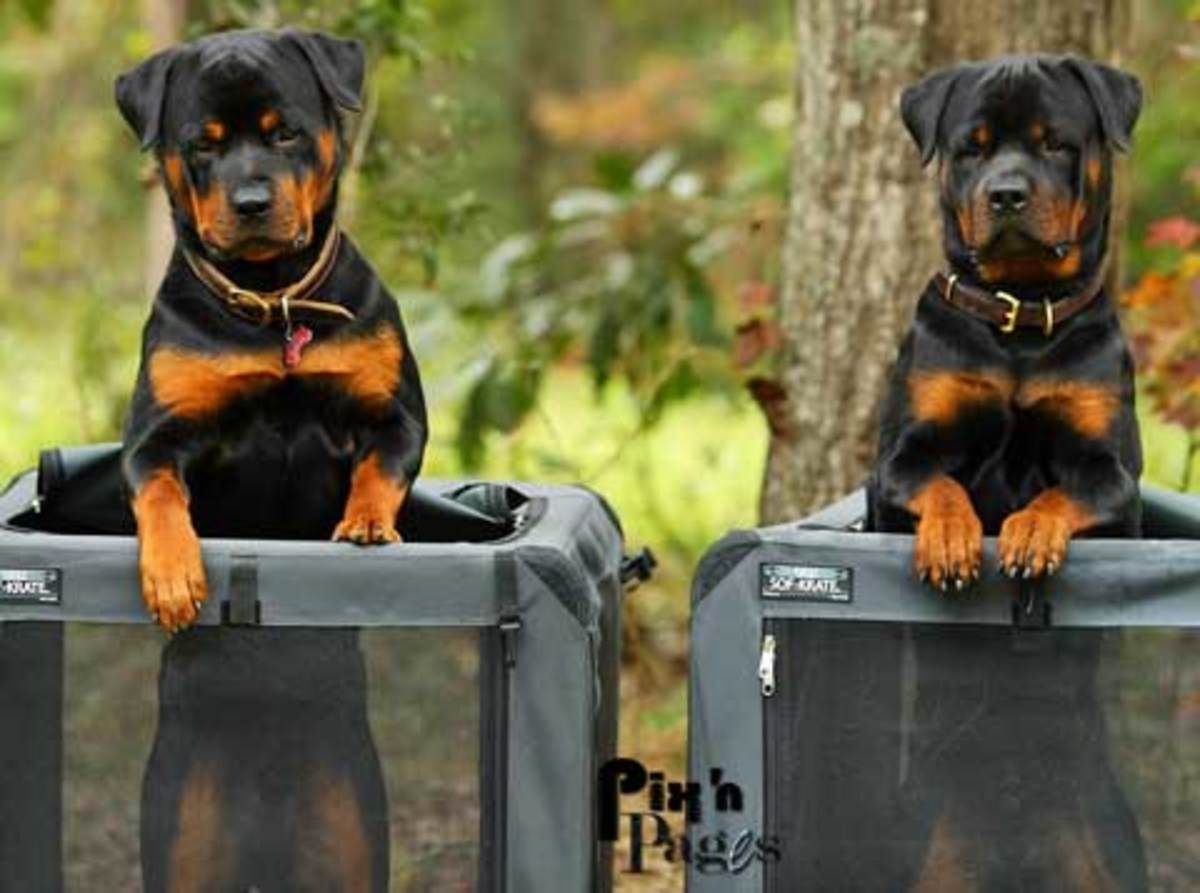 Rottwielers.