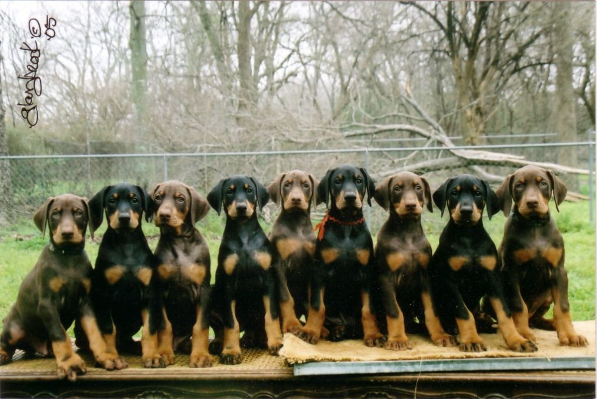 Black and brown Doberman Pinscher puppies.