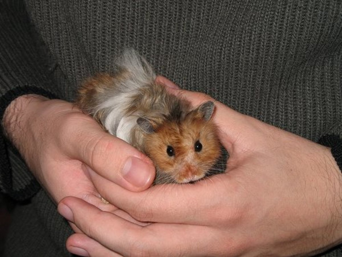 Try to hold your hamster while they're awake, and watch for signs like growling. Gently put your hamster down if they seem upset.