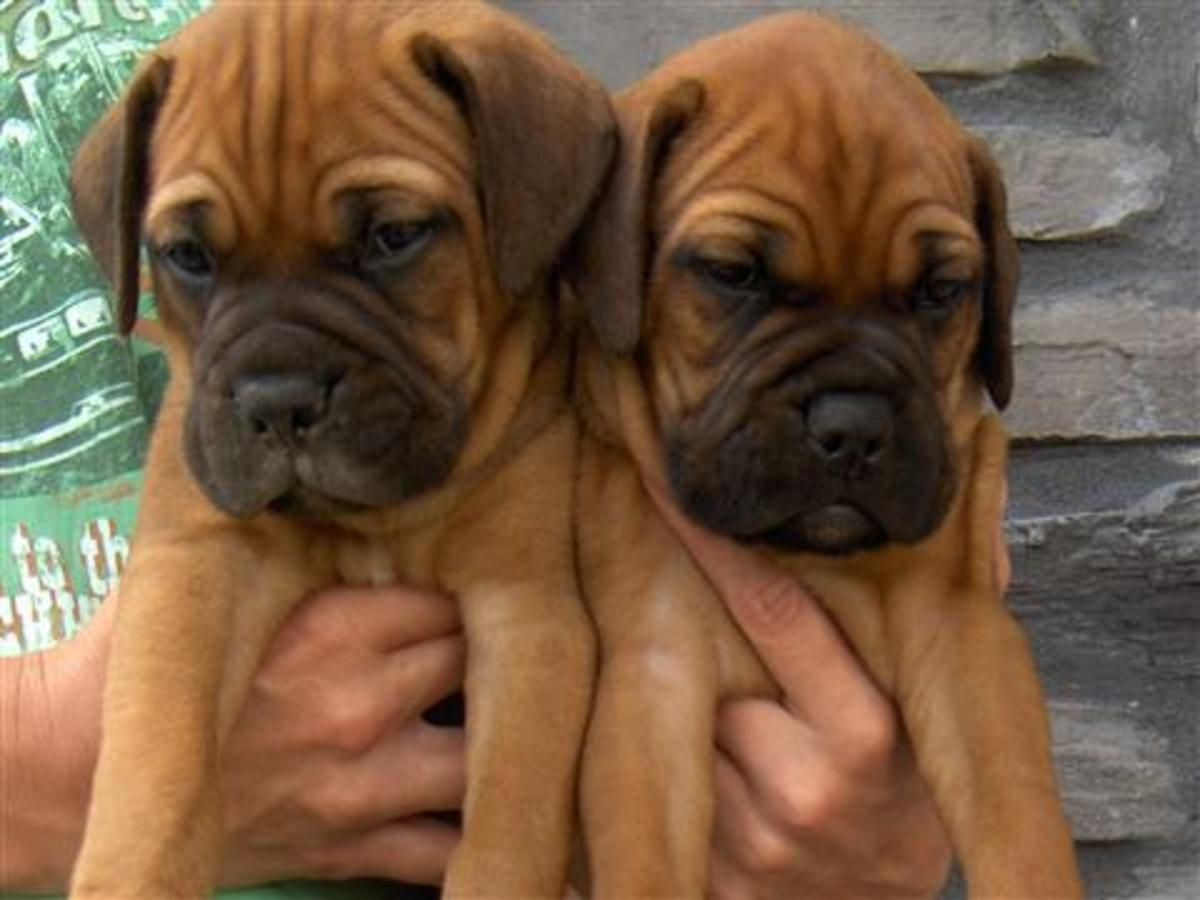 BullMastiff puppies.